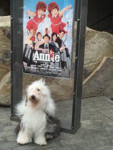 アニーに出演しているサンディーちゃんは、オールド・イングリッシュ・シープドッグという大きくて賢いワンちゃん